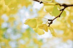 银杏树biloba叶子在秋天 免版税库存照片