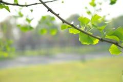银杏树biloba叶子 免版税库存图片