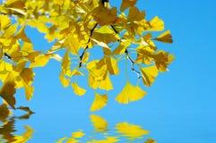 银杏树biloba叶子 免版税图库摄影