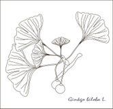 银杏树biloba果子和叶子分支的黑白剪影  库存图片