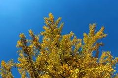 银杏树biloba树与黄色的在秋天离开反对蓝天 库存照片