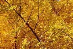银杏树biloba树梢 免版税库存图片