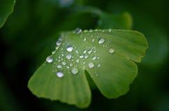 银杏树biloba树离开与水的滴 绿色叶子细节有下落的 绿色背景 自然的医学 库存照片