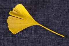 银杏树biloba,秋天颜色黄色色的叶子  免版税库存图片
