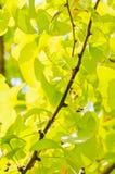 银杏树biloba 免版税库存照片