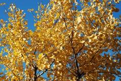 银杏结构树 库存照片