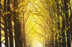 银杏结构树 库存图片