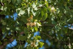 银杏biloba叶子和种子 免版税库存图片