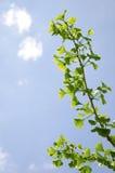 银杏biloba树分支  图库摄影