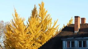 银杏biloba树在秋天天空蔚蓝秋天房子里 影视素材