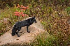 银狐狐狸狐狸在看起来的岩石站立不错 免版税库存图片
