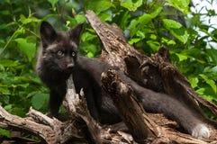 年轻银狐(狐狸狐狸)在根捆绑站立 库存图片