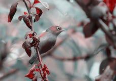 银眼睛在春天庭院里 免版税库存图片