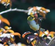 银眼睛在秋天庭院里 免版税库存图片