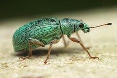 银绿的叶子象鼻虫Phyllobius argentatus 免版税库存图片