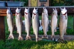 银色三文鱼阿拉斯加尼斯抓住  免版税库存图片
