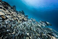 银色和黑水平的条纹鱼学校在珊瑚礁的 免版税图库摄影