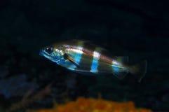 银色噘嘴(Trisopterus luscus) 免版税图库摄影
