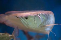 银色在水族馆坦克的arowana似亚马逊鱼 免版税库存照片