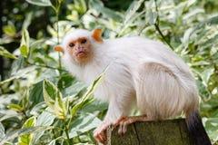 银色小猿 免版税库存照片