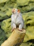 银色小猿Mico argentatus 免版税库存图片