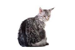 银色平纹缅因浣熊小猫, 5个月 免版税库存图片