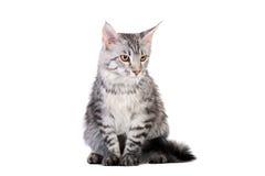 银色平纹缅因浣熊小猫, 5个月 库存图片