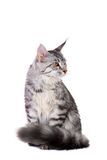 银色平纹缅因浣熊小猫, 5个月 库存照片