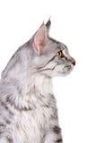 银色平纹缅因浣熊小猫, 5个月 图库摄影