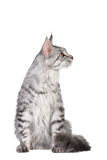 银色平纹缅因浣熊小猫, 5个月 免版税库存照片