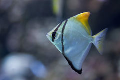 银色月亮(Monodactylus argentus) 免版税库存图片