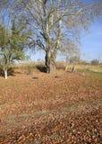 银色白杨树投下了叶子 在地面上的白杨树叶子在树下 免版税库存图片