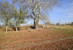银色白杨树投下了叶子 在地面上的白杨树叶子在树下 库存图片