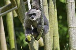 银色的长臂猿 免版税库存照片