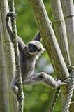 银色的长臂猿 免版税图库摄影
