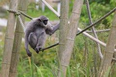 银色的长臂猿 免版税库存图片