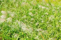 银色草在秋天 库存图片