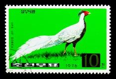 银色野鸡(Lophura nycthemera), serie,大约1976年 免版税库存图片