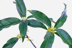 银色香郁木犀属植物 图库摄影