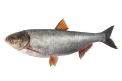 银色鲤鱼 库存图片
