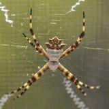 银色Argiope蜘蛛特写镜头 免版税库存图片