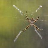 银色Argiope蜘蛛 库存照片
