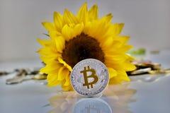 银色bitcoin硬币和向日葵 免版税库存图片