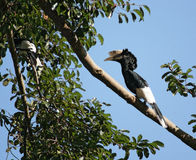 银色cheeked犀鸟在非洲 免版税库存照片