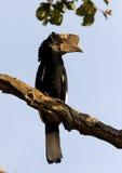 银色cheeked的犀鸟 免版税图库摄影