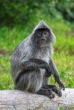 银色lutung猴子在 库存照片