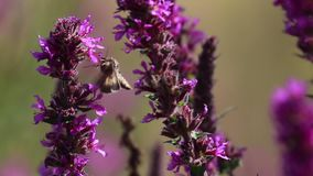 银色Y飞蛾, Autographa伽玛,收集花蜜从一朵紫色珍珠菜花在威严期间在苏格兰 股票视频