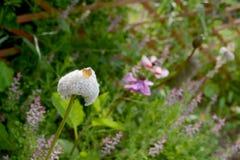 银莲花属和两朵开放花象棉花的种子头  库存照片