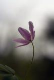 银莲花属唯一木头 免版税库存照片