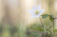 银莲花属唯一木头 库存照片